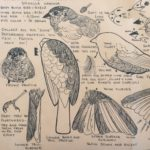 Amer Tree Sparrow